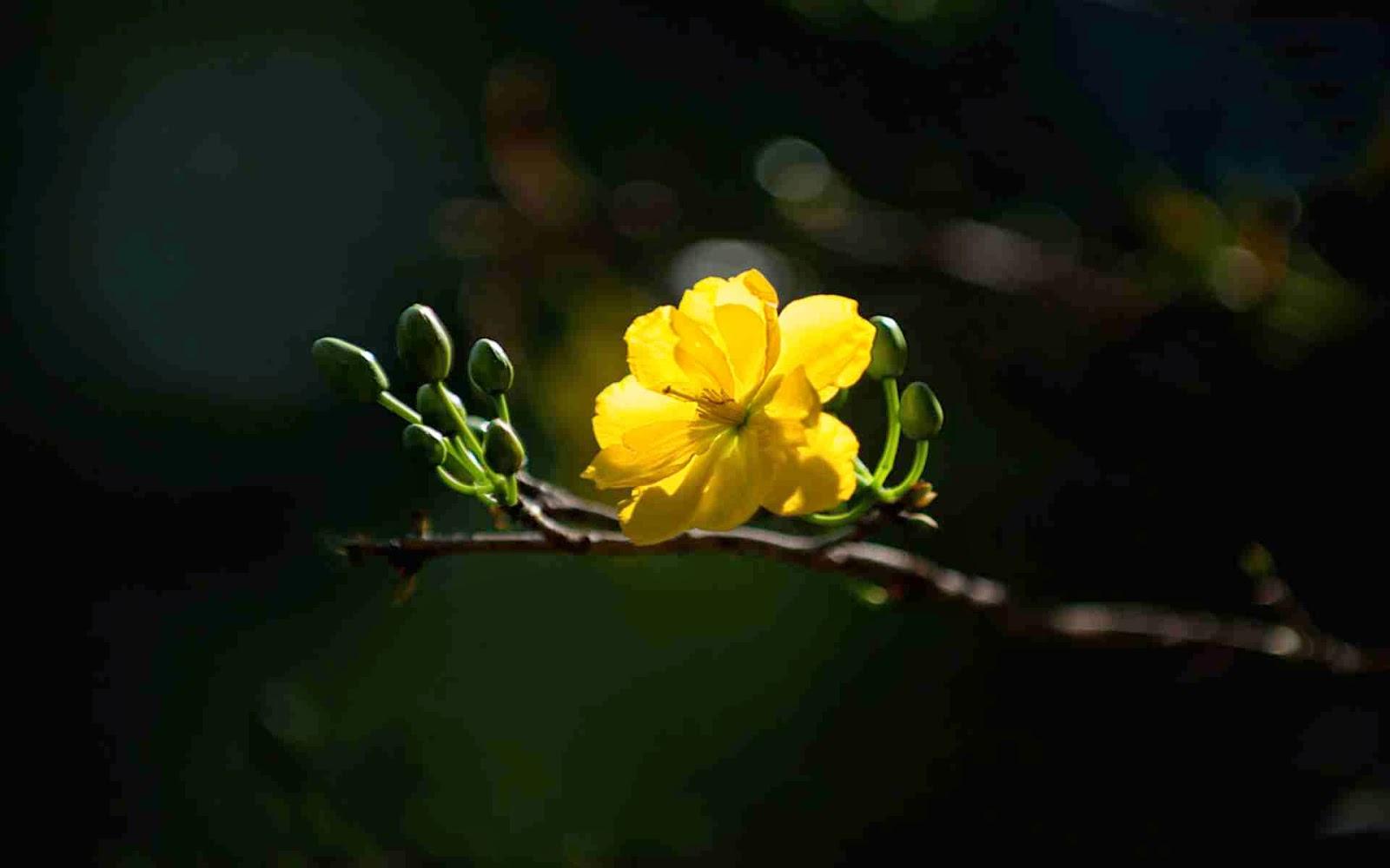 tải ảnh hoa mai đẹp nhất