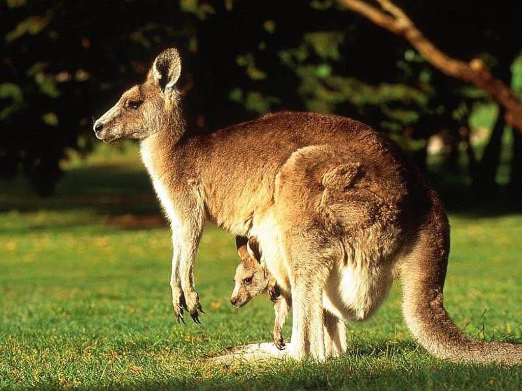 Western Grey Kangaroo Wallpapers The kangaroo is important to