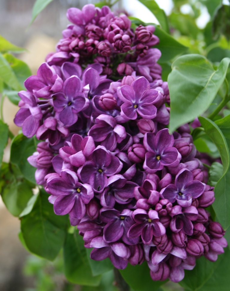Garden Musings: Lilac Weeks
