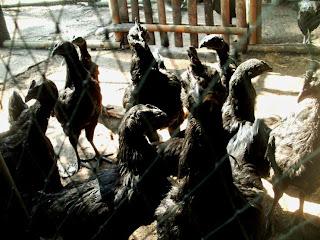 Jual Beli Ayam Cemani Hias Daerah Jambi