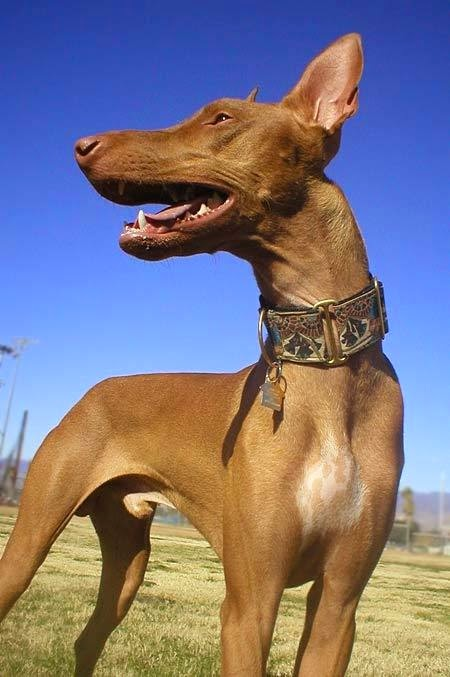 Top 5 Of The Most Graceful Dog Breeds