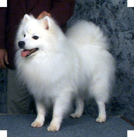 ... as eskimo spitz american spitz german spitz eskie is an german spitz