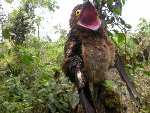 The worlds most brazenly hidden bird -- the common potoo (Video)