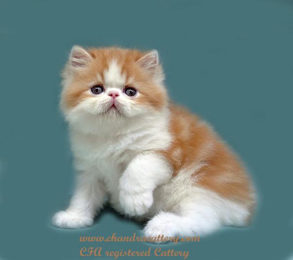Analisa Bisnis Ternak Kucing Persia Amp Exotic Sukses