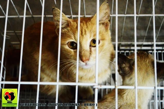 Kucing Baka Red Tabby Marble Oren Ni Sudah Tidak Stress