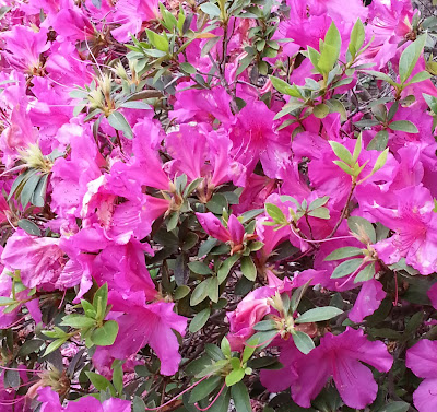 fushia azalea in full bloom