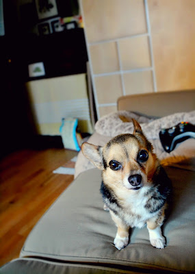 mini corgi, chihuahua mix, dog, cute, animal, photography