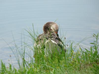 greylag goose preening
