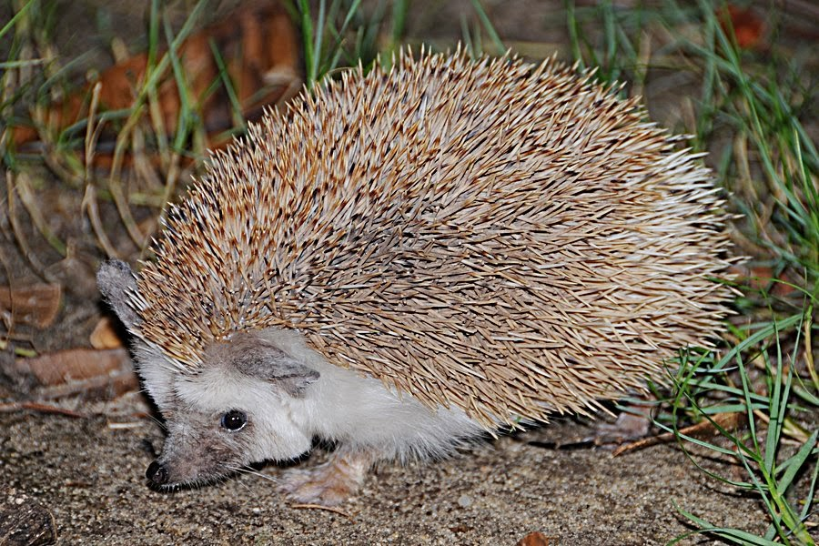 Hedgehog Animals Amazing Facts Latest Pictures All