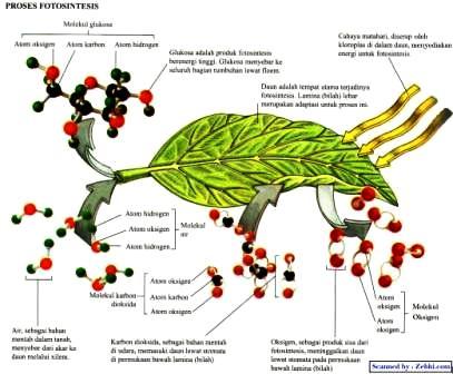 Proses Fotosintesis pada Tumbuhan