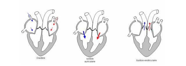 cours infirmier physiologie cardiaque révolution cardiaque