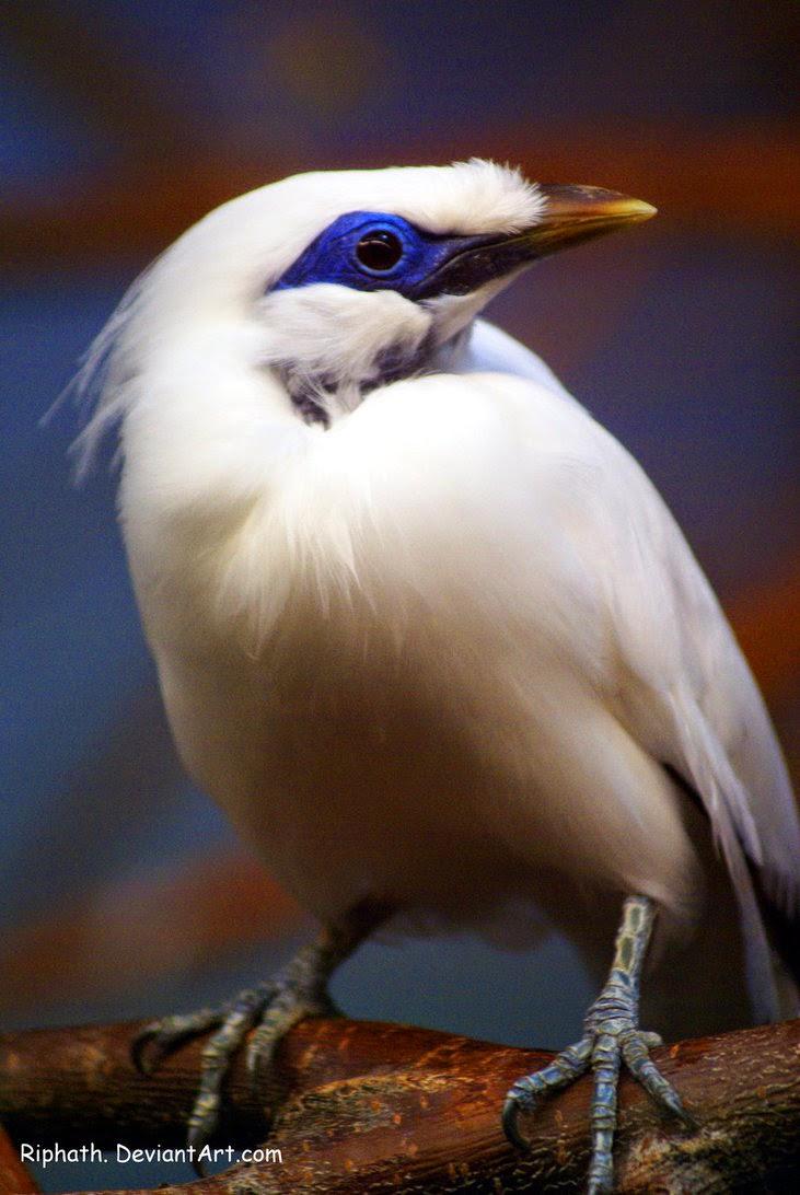 gambar burung jalak bali - gambar burung