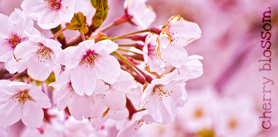 Cherry Blossom.