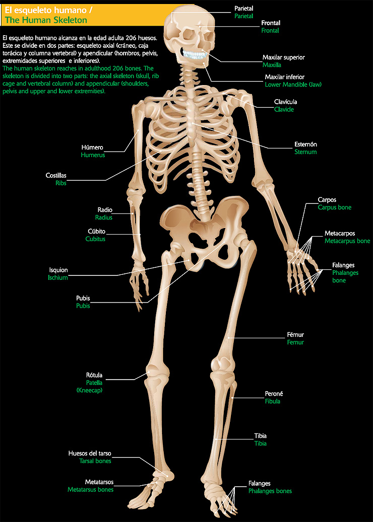 lamina del esqueleto humano: