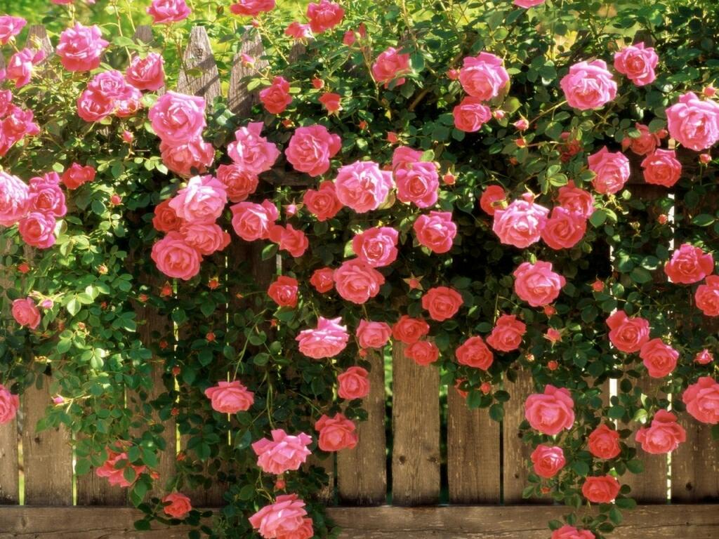 Rose Flowers Desktop Wallpapers Flower Wallpaper
