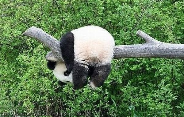 panda bears pictures 1