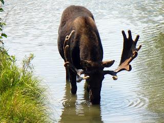 Moose in Grand Teton National Park in Wyoming