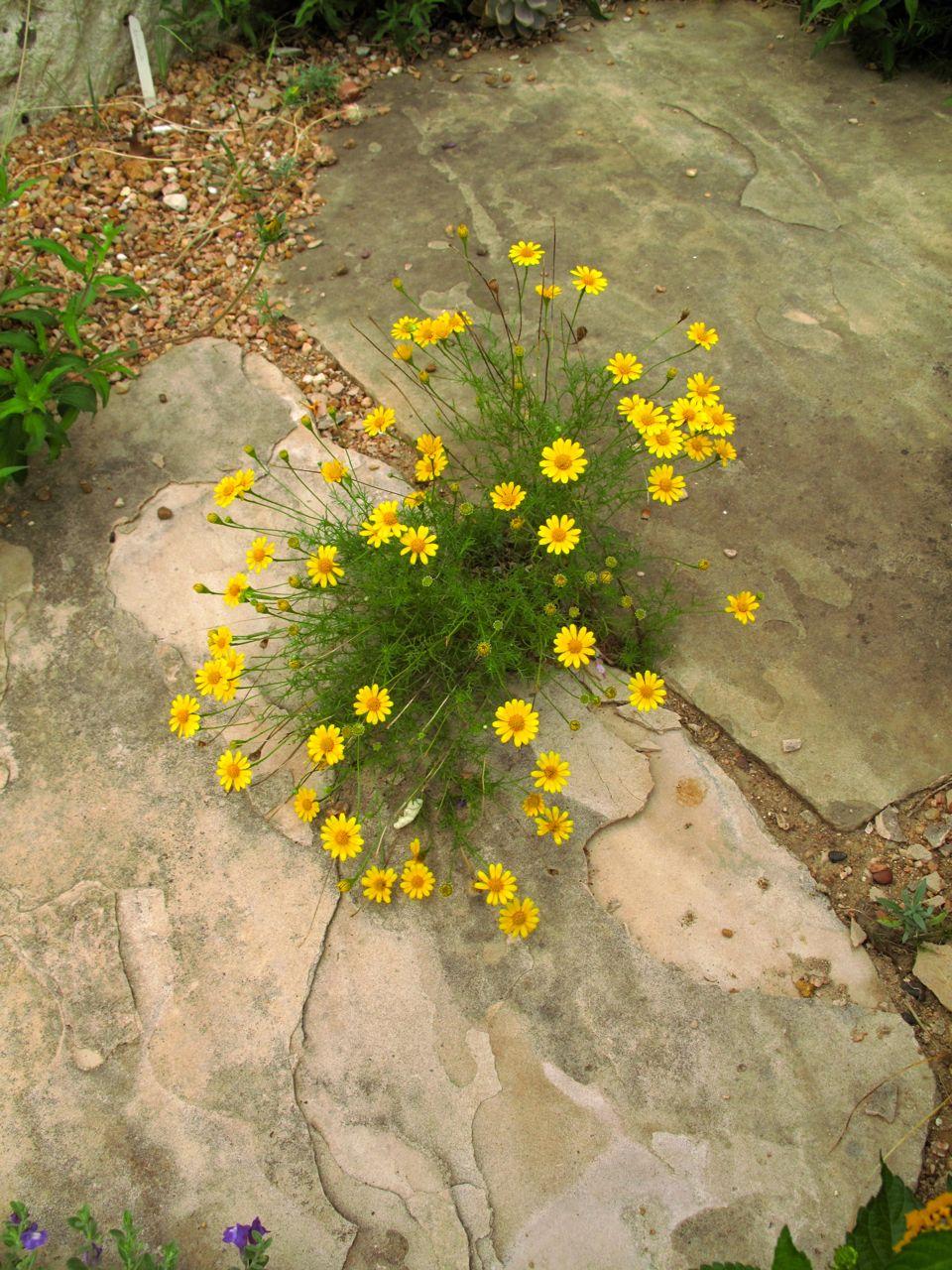 Rock Rose Small Plants For The Sunken Garden
