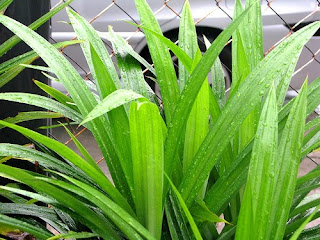 pandan leaves as treatment Country: malaysia pandan leaves have a sweet taste and soft aroma they are  mainly used to lend the sweet taste and unique aroma to savoury dishes, such.