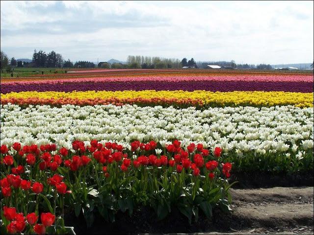 12 شهر مايو في هولندا  موسم حصاد زهور التوليب  جنة على الأرض