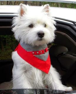 Pretty Westie...if you know about a Westie, you will want one