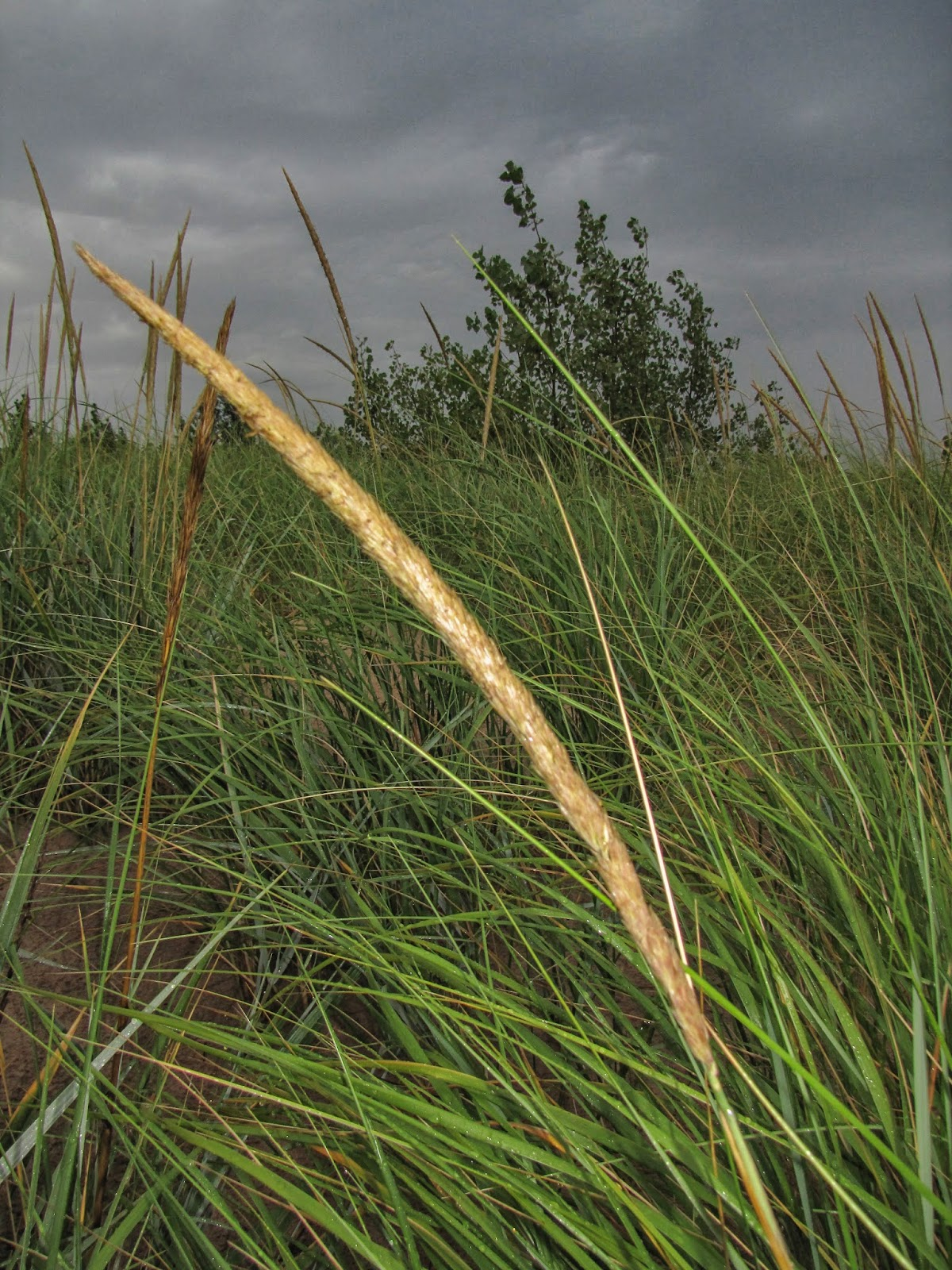 Blue dune lyme grass - Marram Grass Inflorescence With Foliage In Background