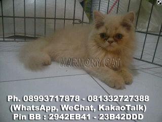 Hamster Dan Kucing Persia Murah Surabaya: DI JUAL KUCING BETINA ...