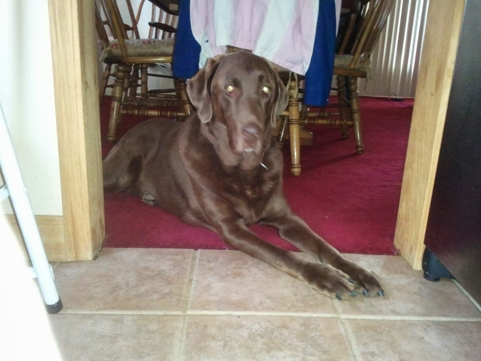 My handsome Chocolate Lab Harley