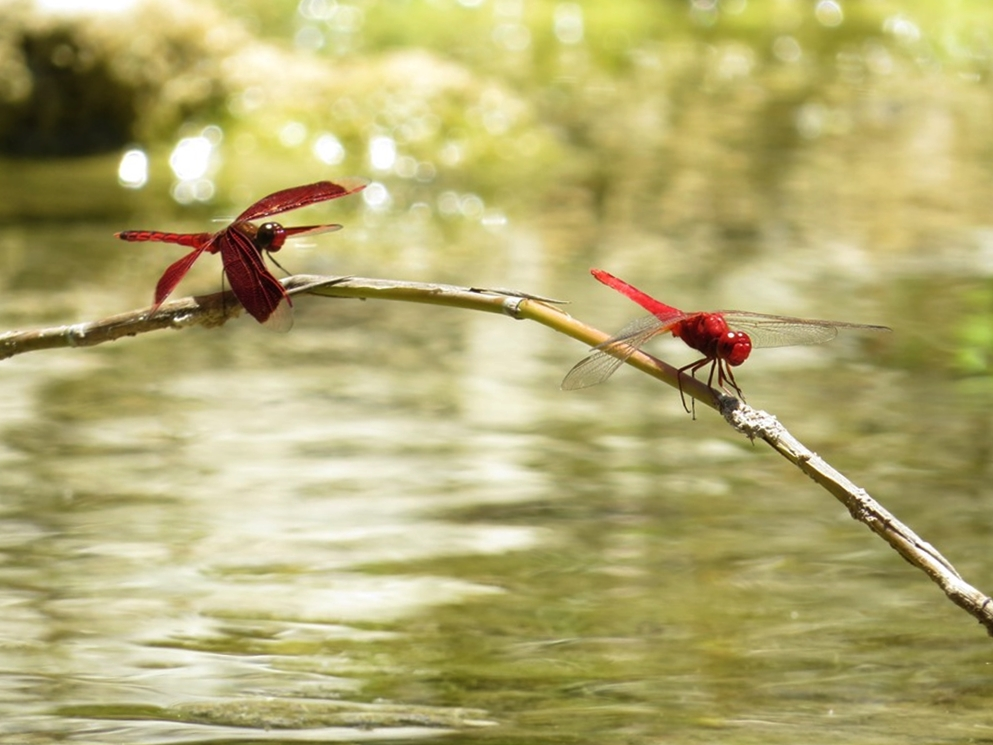 Red Grasshawk Dragonfly (Neurothemis Fluctuans) - Bolinao, Philippines      Photograph by Bernard Eirrol Tugade