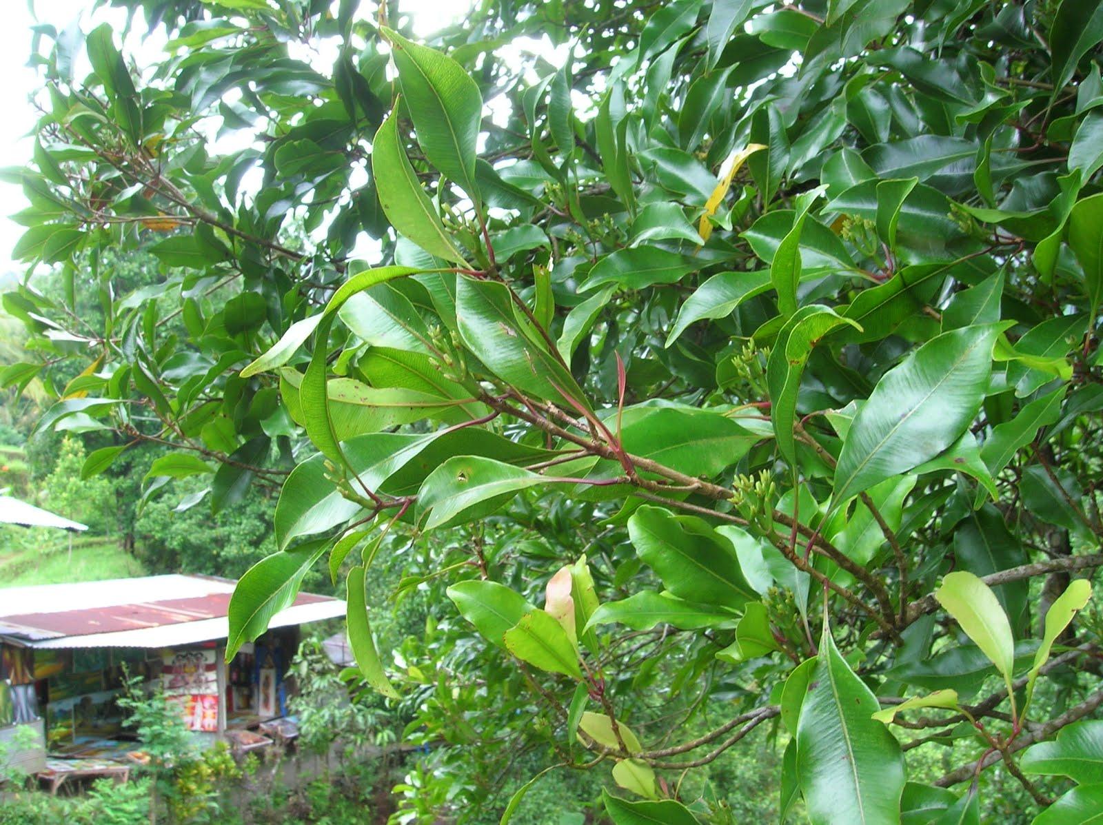 Clavo especias, Isla de Bali,Indonesia, vuelta al mundo, round the world, La vuelta al mundo de Asun y Ricardo