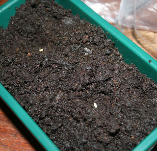 The geranium seeds in 10mm deep dents in the moist compost