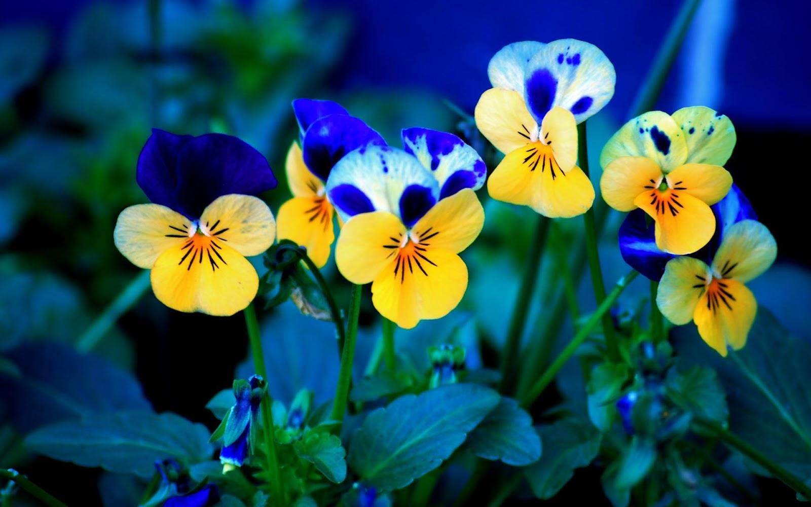 http://1.bp.blogspot.com/-SCz1WhbXjZo/UWzMXzVpKiI/AAAAAAAAAks/ZdMOU-tjWp0/s1600/viola-pansee-bluers-flowers-hd-wallpaper.jpg
