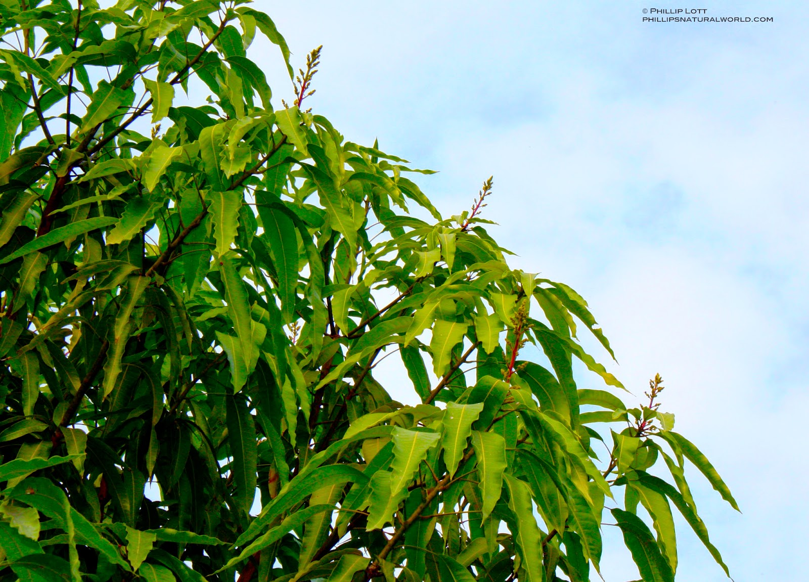 Mango Tree Not Producing Fruit Part - 25: This Tree Was Started From A Seed Of A Fruit I Brought From Naples. It Is  Now About 20-feet Tall With A Thick Crown. It Has Thrived Since We Have Had  No ...