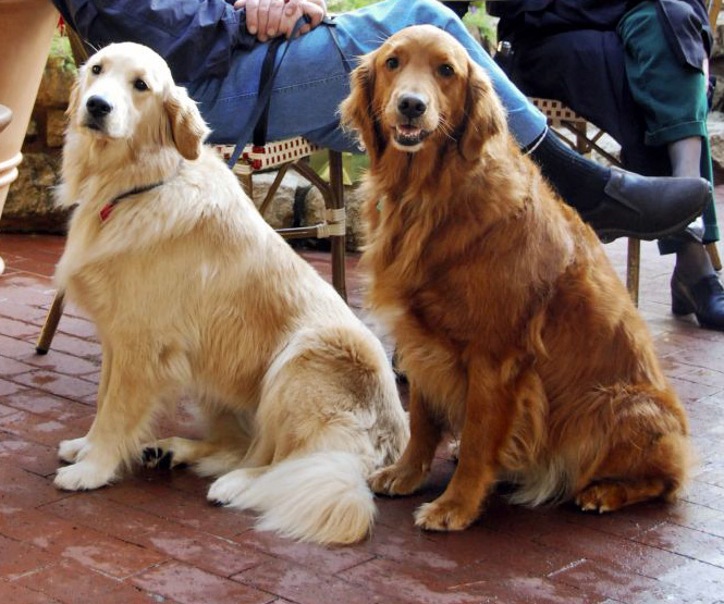 ... between the Indweller, Canadian, and Brits types of Gilded Retriever