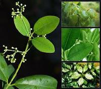 pianta Indiana cura rinovirus