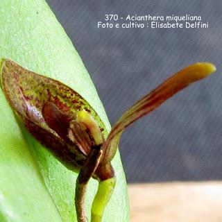 Pleurothallis  miqueliana , Specklinia miqueliana, Stelis miqueliana