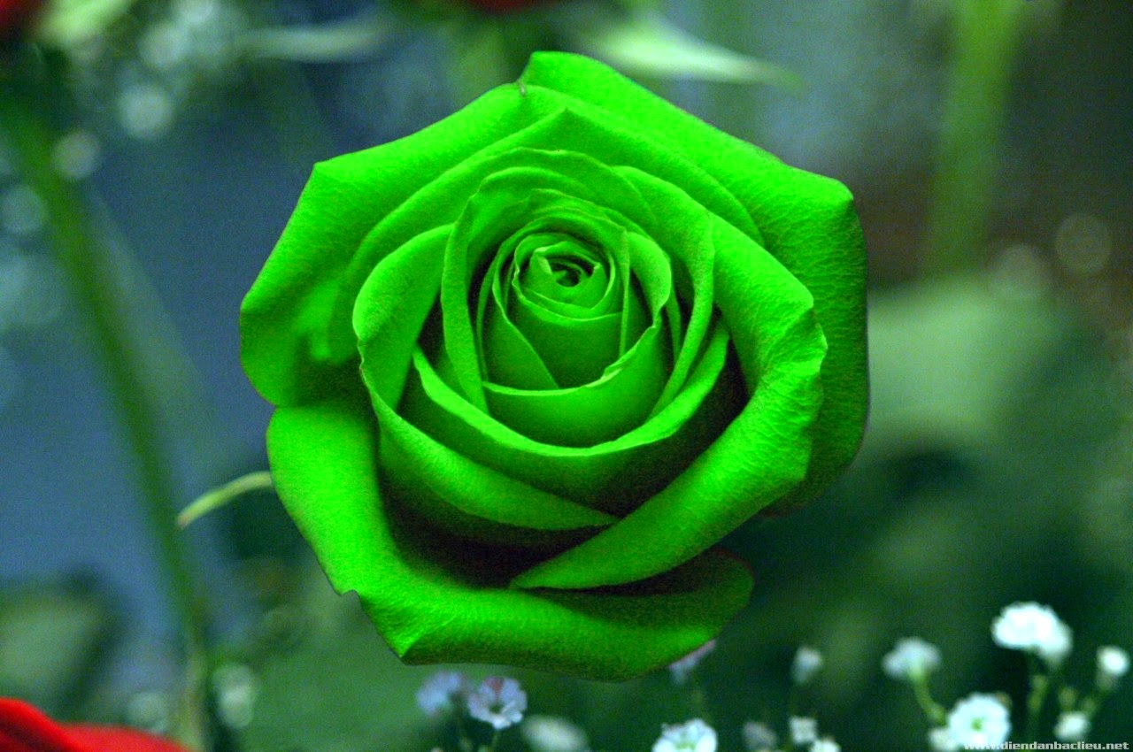 Wallpapers the most beautiful blue roses | Gallery ...