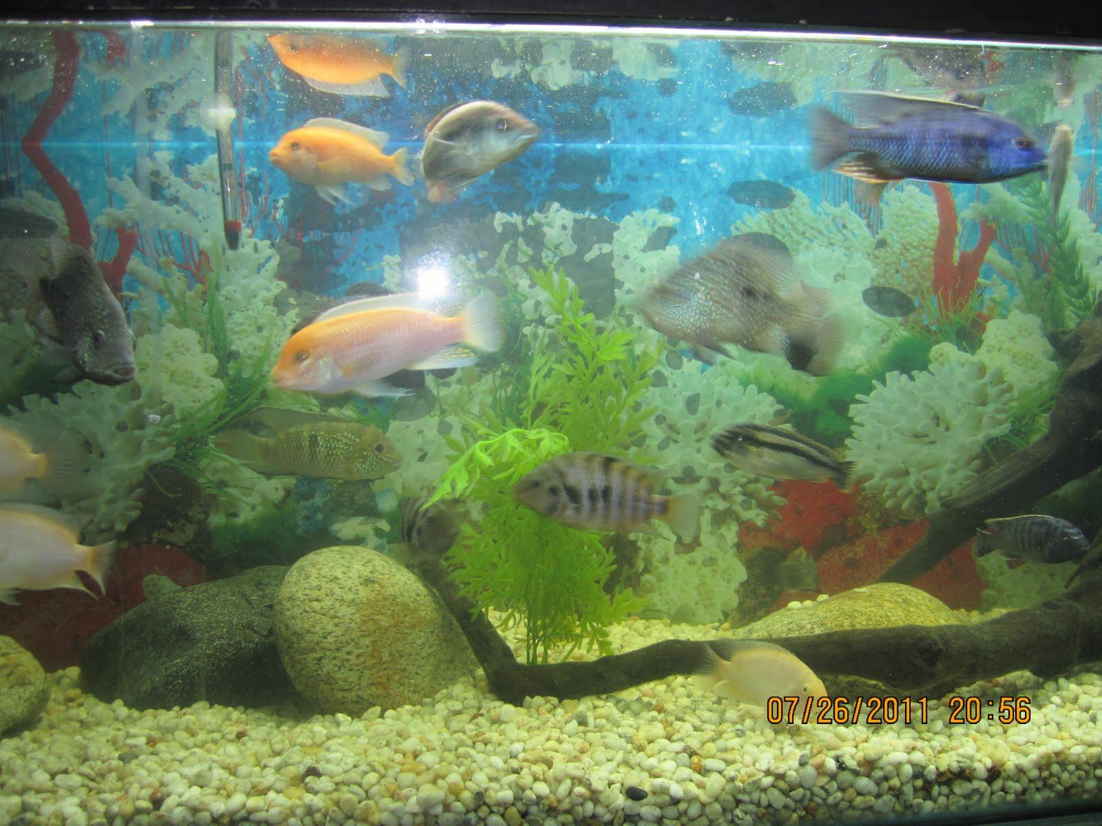 Acuicultura peces ornamentales for Acuariofilia peces ornamentales