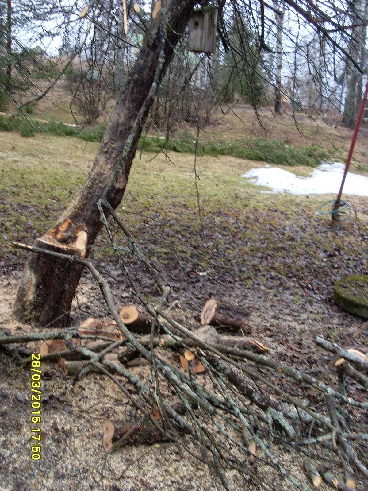 Omenapuiden leikkauksia ja pihapuiden kaatoja yhteisin tavoittein käteisellä
