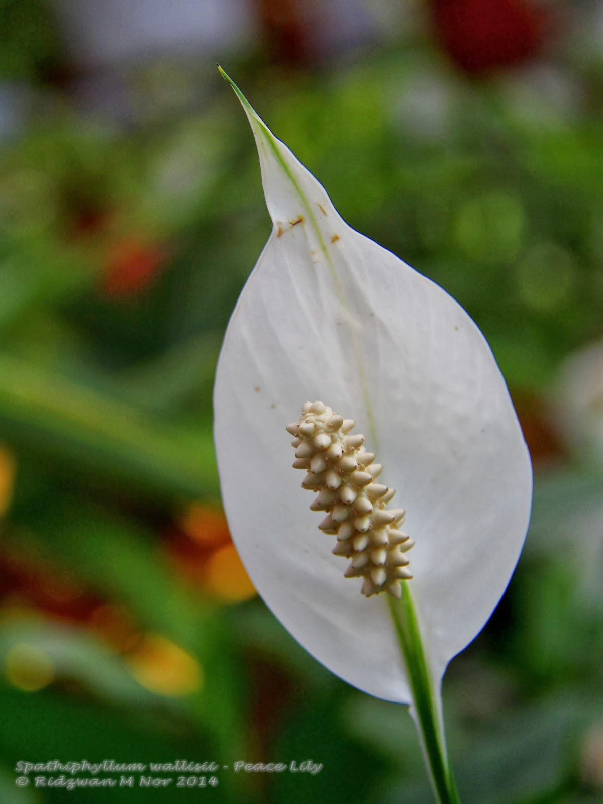 Spathiphyllum wallisii peace lily flowers around us by for Spathiphyllum wallisii