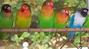 Ciri Burung Lovebird Berkualitas