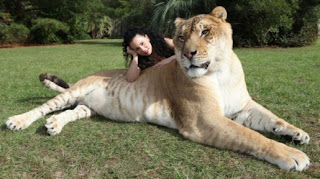 biggest cat, the largest semi lion tiger, the extra large cat, hercules the largest cat in the world