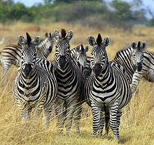 Mengapa Zebra Belang - Belang Di Tubuhnya?