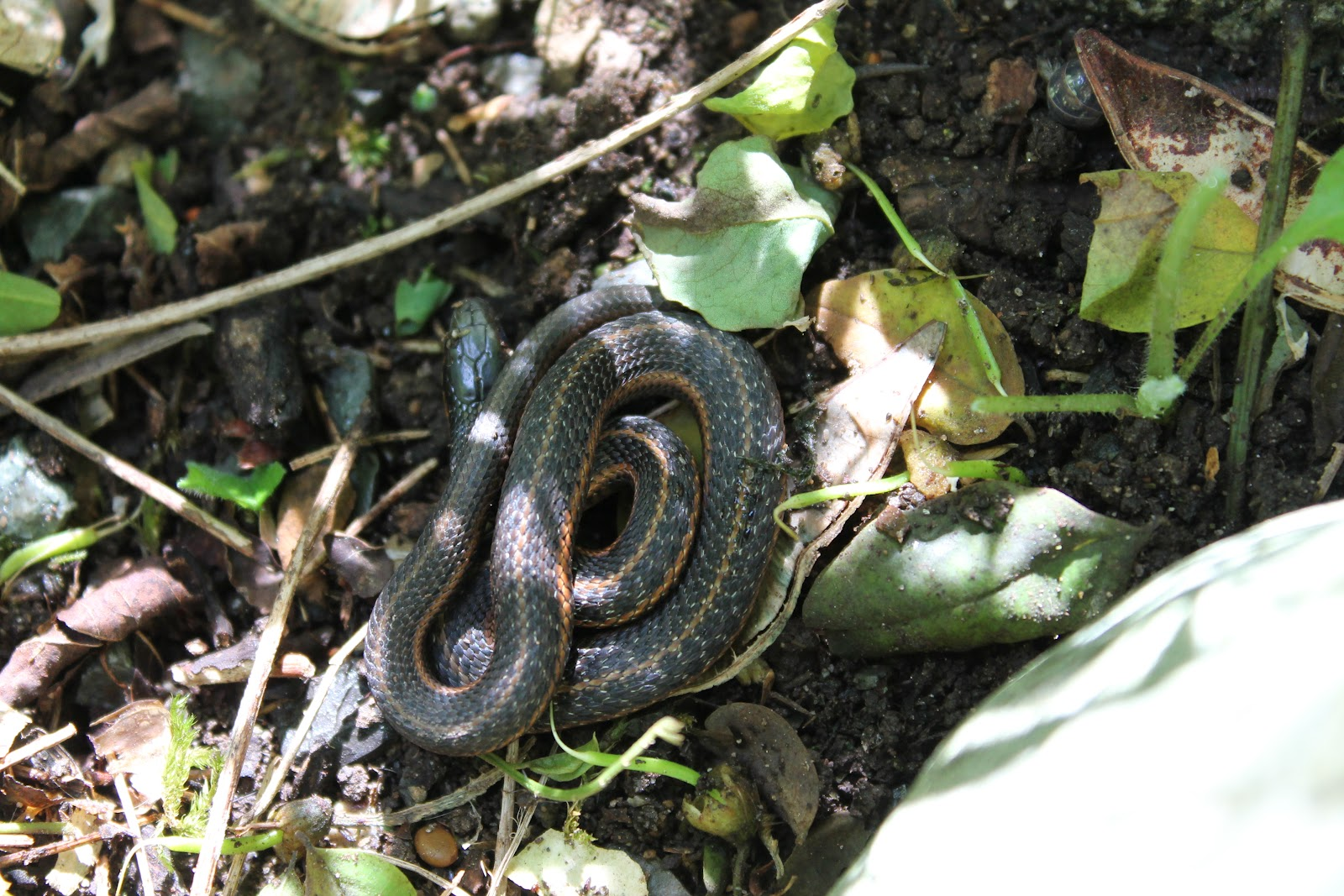 Set the trail our homestead tiny garter snake for What do baby garden snakes eat
