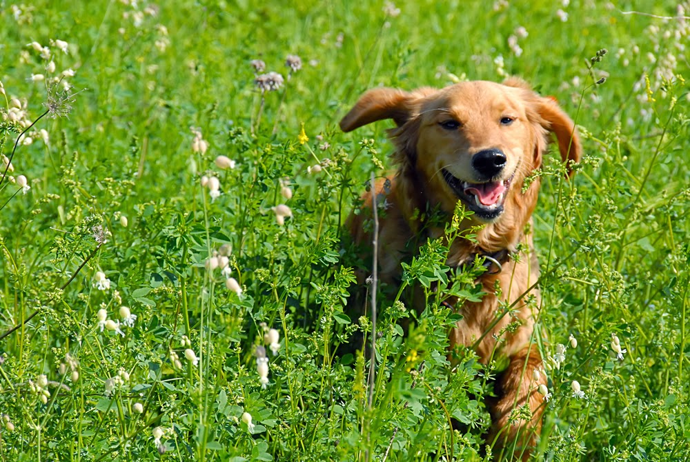 happy yellow dog running in grass