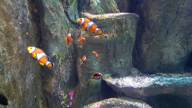 palyaço balık