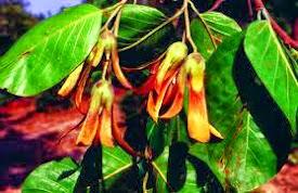 Bunga Tengkawang