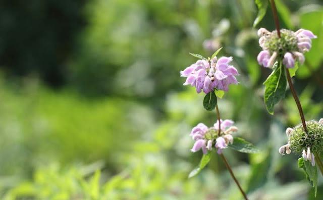 Jerusalem Sage Flowers