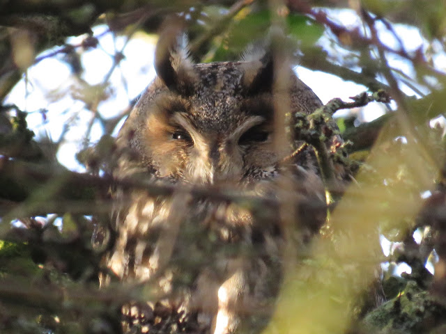 LONG EARED OWL-BURTON RSPB-21ST DECEMBER 2015