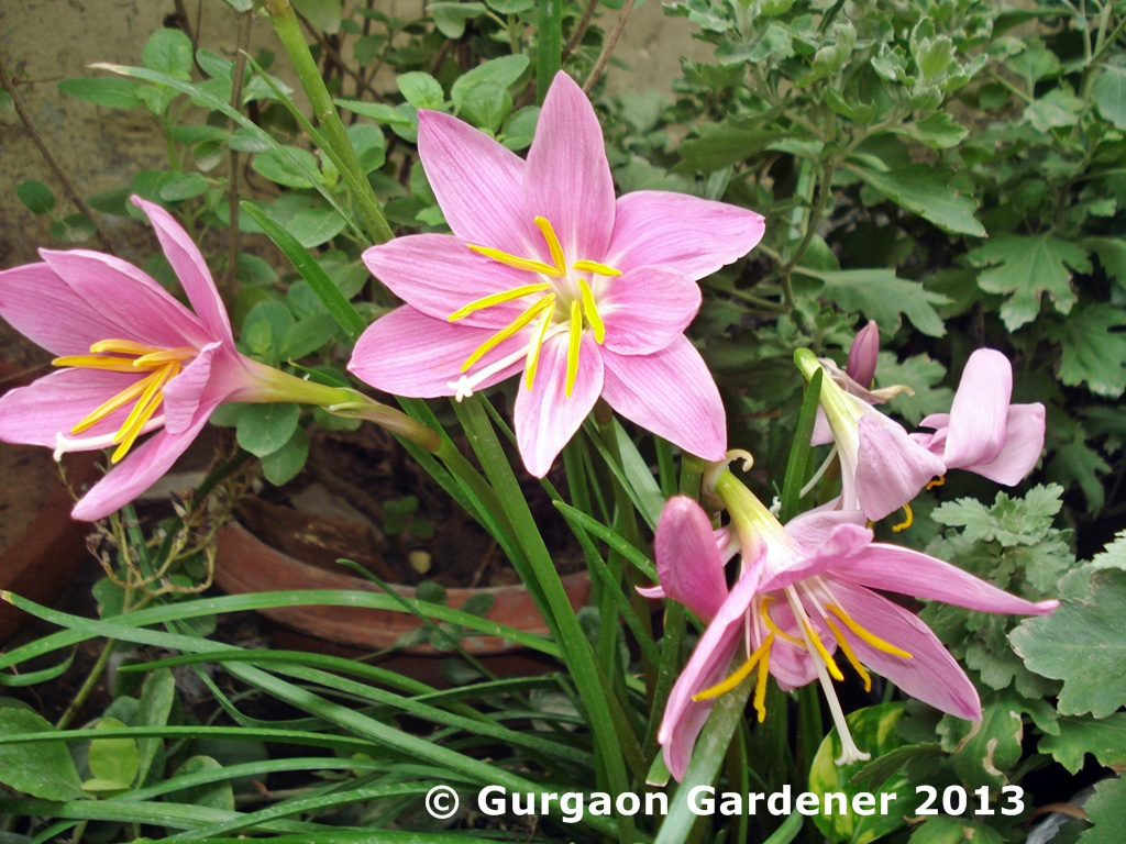 Gurgaon gardener rain lilies zephyranthes blooming in gurgaon botanical name zephyranthes izmirmasajfo